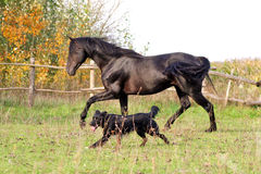 Ukrainian horse breed horses. Young purebred, thoroughbred horse, beautiful horse, bloodstock, graceful animal, noble animal, ungulate, herbivore, walking Royalty Free Stock Image