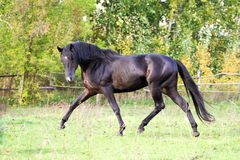 Ukrainian horse breed horses. Young purebred, thoroughbred horse, beautiful horse, bloodstock, graceful animal, noble animal, ungulate, herbivore, walking Stock Photos