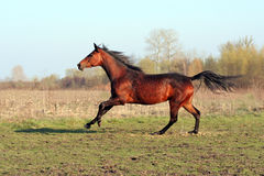Ukrainian horse breed horses. Young purebred, thoroughbred horse, beautiful horse, paddock, mare in the pasture, bloodstock, horse on freedom walks summer day Stock Photos