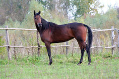 Ukrainian horse breed horses. Young purebred, thoroughbred horse, beautiful horse, paddock, mare in the pasture, bloodstock, horse on freedom walks summer day Stock Images