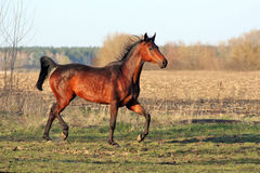 Ukrainian horse breed horses. Young purebred, thoroughbred horse, beautiful horse, paddock, stallion in the pasture, bloodstock, horse on freedom walks summer Royalty Free Stock Photo
