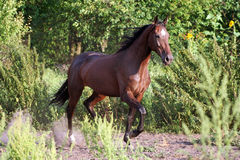 Ukrainian horse breed horses Stock Images