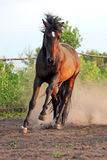 Ukrainian horse breed horses Royalty Free Stock Image
