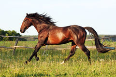 Ukrainian horse breed horses. Young purebred, thoroughbred horse, beautiful horse, paddock, stallion in the pasture, bloodstock, horse on freedom walks summer Stock Photography