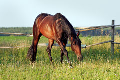 Ukrainian horse breed horses. Young purebred, thoroughbred horse, beautiful horse, paddock, stallion in the pasture, bloodstock, horse on freedom walks summer Royalty Free Stock Photos
