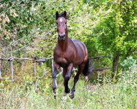 Ukrainian horse breed horses. Young purebred, thoroughbred horse, beautiful horse, paddock, stallion in the pasture, bloodstock, horse on freedom walks summer Stock Image