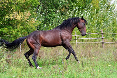 Ukrainian horse breed horses. Young purebred, thoroughbred horse, beautiful horse, paddock, stallion in the pasture, bloodstock, horse on freedom walks summer Stock Photos