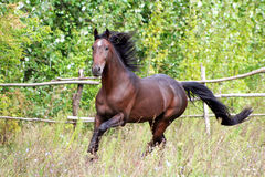 Ukrainian horse breed horses. Young purebred, thoroughbred horse, beautiful horse, paddock, stallion in the pasture, bloodstock, horse on freedom walks summer Royalty Free Stock Photography