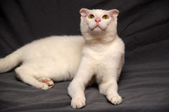 Ukrainian Levkoy. Portrait of a white cat breed  Ukrainian Levkoy - the original of the species naked fold cat Stock Image
