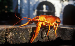 Ukrainian lobster Royalty Free Stock Photos