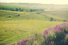 Ukrainian meadow with lavander flowers in summer Stock Image