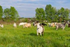 Ukrainian milk goats on a spring pasture Royalty Free Stock Photos