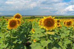 Ukrainian rural landscape with sunflowers Stock Photography