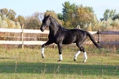 Ukrainian stallion horse breed Royalty Free Stock Images