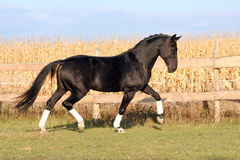 Ukrainian stallion horse breed Royalty Free Stock Photo