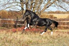 Ukrainian stallion horse breed Stock Image