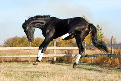Ukrainian stallion horse breed Stock Photography