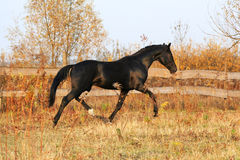 Ukrainian stallion horse breed Royalty Free Stock Photos