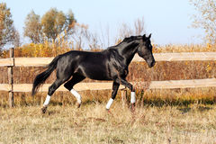 Ukrainian stallion horse breed Royalty Free Stock Image