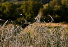 Ukrainian summer landscape with wheat fields and blue sky stock image