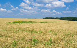 Ukrainian summer landscape with yellow crops Stock Photos