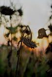 Ukrainian sunflowers stock image
