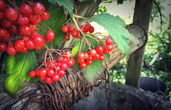 Ukrainian viburnum nearbly old well water Stock Image