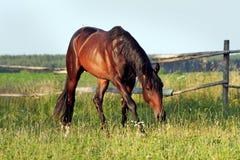 Ukrainische Pferdezuchtpferde Lizenzfreie Stockfotos