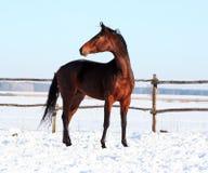 Ukrainische Pferdezuchtpferde Stockfotografie