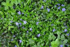 Ukrainisches Volksblumensingrün der hellvioletten Farbe mit den klaren grünen Blumenblättern auf dem Hintergrund ukrainischer Art Lizenzfreies Stockfoto