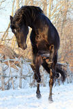 Ukrainska hästavelhästar Arkivfoton
