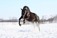 Ukraińscy końscy trakenów konie Zdjęcia Stock