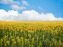 Ukranian sunflower field. Sunflowers under clouds in bright colors Royalty Free Stock Photography