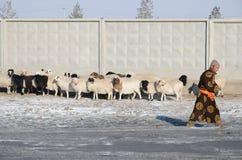 Ulaanbaatar, Mongolei - Dezember, 03 2015: Mongolischer Mann im Nationalkostüm und in einer Schafherde an einem Zaun im Winter Stockbild