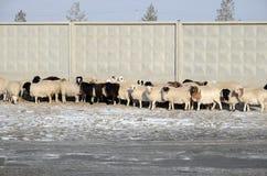 Ulaanbaatar Mongoliet - December, 03 2015: Flocken av får trycker på nästan det konkreta staketet Arkivfoto