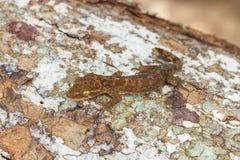 Ulber-` s Gecko im tropischen Wald lizenzfreies stockfoto