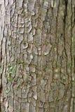 Ulcera dell'obiettivo sulla corteccia di albero dell'acero rosso Fotografia Stock Libera da Diritti