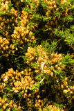 Ulex europaeus gorse, common gorse, furze or whin. Macro. Close up of UK gorse bush, flowers not yet open Royalty Free Stock Photos