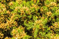 Ulex europaeus gorse, common gorse, furze or whin. Macro. Close up of UK gorse bush, flowers not yet open Stock Photos