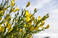 Ulex europaeus shrub in bloom with yellow flowers, against blue sky. Ulex europaeus shrub in bloom with yellow, flowers, against blue sky, wild shrub Stock Photography