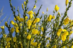 Ulex europaeus shrub in bloom with yellow flowers, against blue sky. Wildflower Royalty Free Stock Image