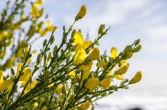 Ulex europaeus Strauch in der Blüte mit gelben Blumen, gegen blauen Himmel stockfotografie
