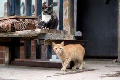Ulica przybłąkani koty Fotografia Royalty Free