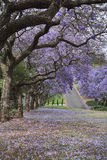 Ulica wykładał z Jacaranda drzewami w pełnym kwiacie Zdjęcia Royalty Free
