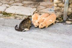 Uliczni koty je jedzenie - pojęcie bezdomni zwierzęta Fotografia Stock