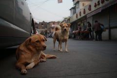 Uliczni psy Zdjęcie Royalty Free