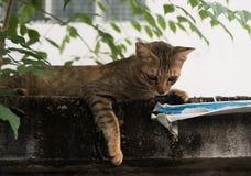 Uliczny kot kłaść puszek na cement ścianie Zdjęcie Stock