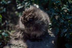 Uliczny kot z długie włosy Zdjęcie Royalty Free
