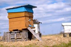 Ulii пчелы стоя в поле стоковые изображения rf