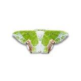 Uliocnemis partita moth Stock Images